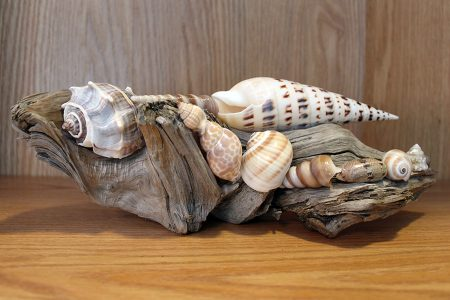 Driftwood Shell Display